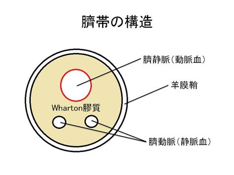 Images of 臍帯 - JapaneseClass